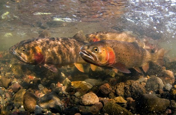 01-yellowstone-cutthroat-trout-spawn_63462_600x450